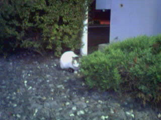 White Castle cat